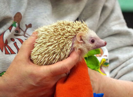 Pumpkin the Hedgehog Visits PES